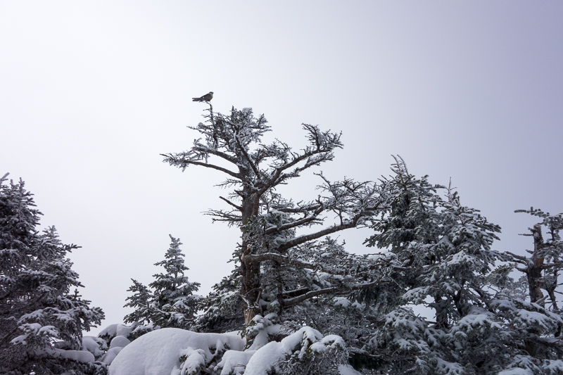 Gray jay on the peak of Mt Field