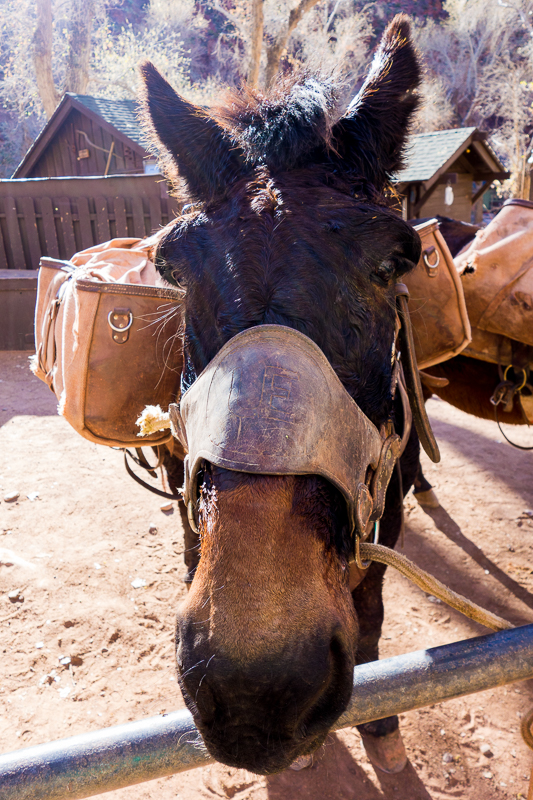 A mule at Phantom Ranch